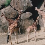 Giraffes in the Philadelphia, Pennsylvania Zoo, Photo Credit, Demetrios Kastaris.