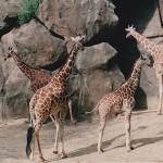 Giraffes in the Philadelphia, Pennsylvania Zoo, Photo Credit, Demetrios Kastaris.