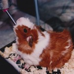 """Peggy"" Kastaris family Guinea Pig. Photo by Demetrios Kastaris."