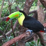 Tucan, Costa Rican Zoo, Central America, Photo by Demetrios Kastaris