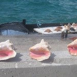 Conch Shells in the Bahamas, August, 2014, photo credit, Demetrios Kastaris.