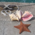Conch Shells and Star fish in the Bahamas, August, 2014, photo credit, Demetrios Kastaris