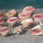 Conch Shells in the Bahamas, August, 2014, photo credit, Demetrios Kastaris