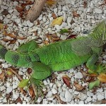 Puerto Rico, Iguana, July, 2015, photo credit, Demetrios Kastaris.